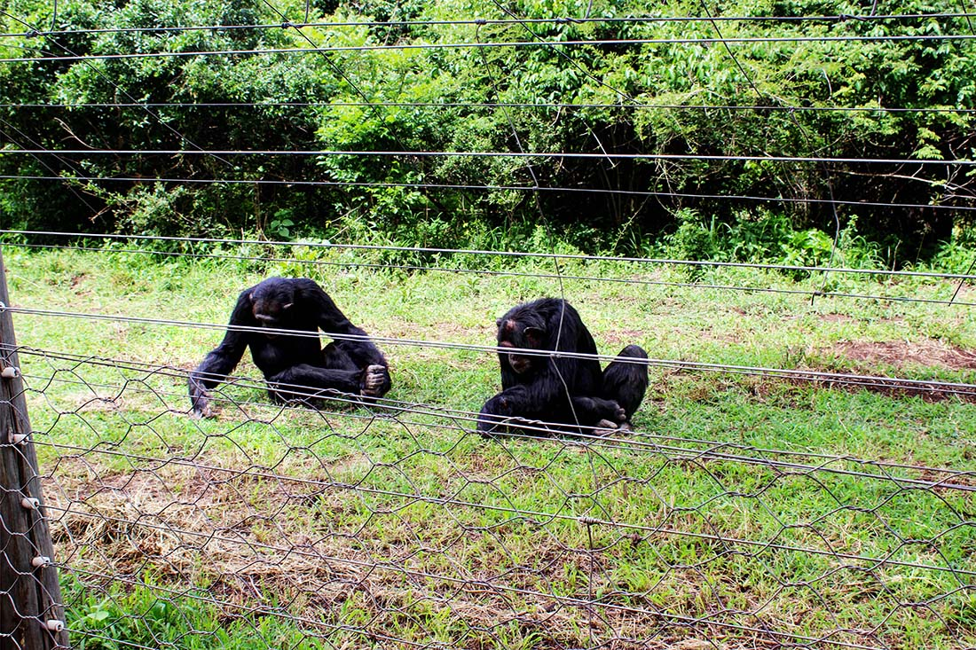 Sweetwaters Chimpanzee Sanctuary_day 2