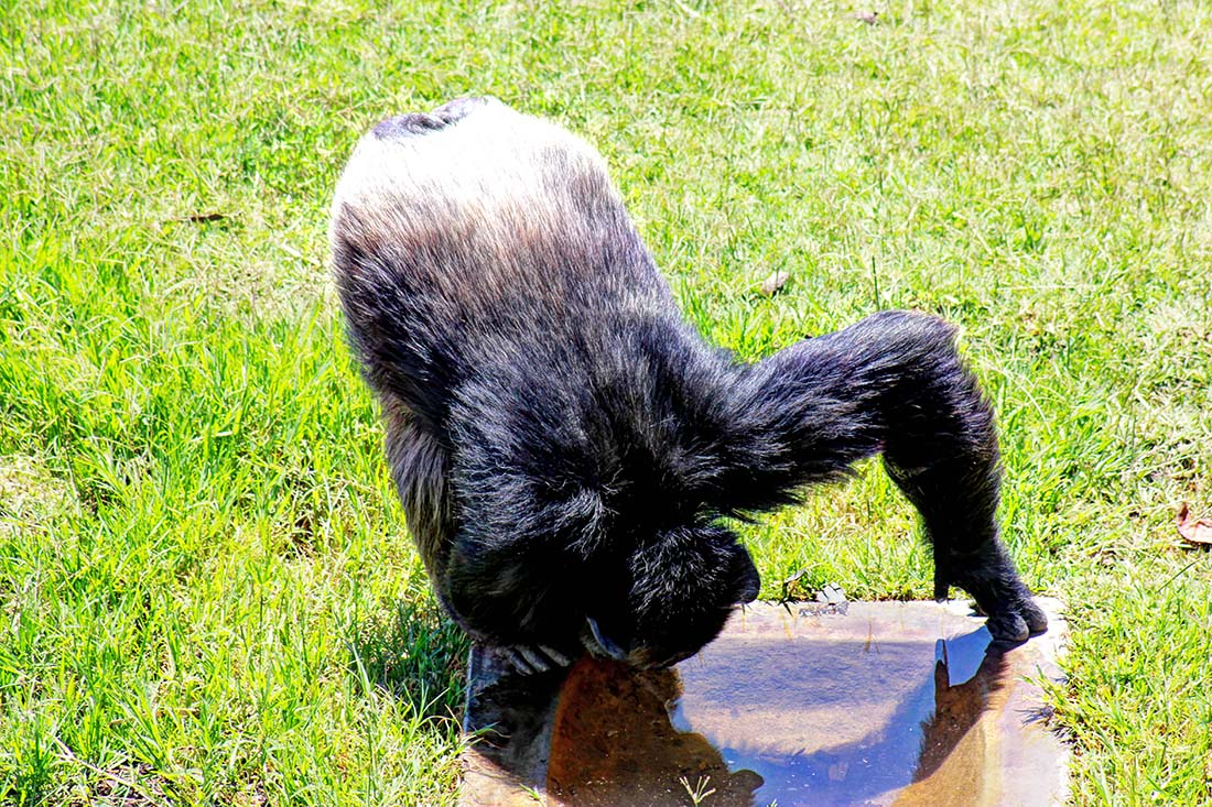 Sweetwaters Chimpanzee Sanctuary_drinking water
