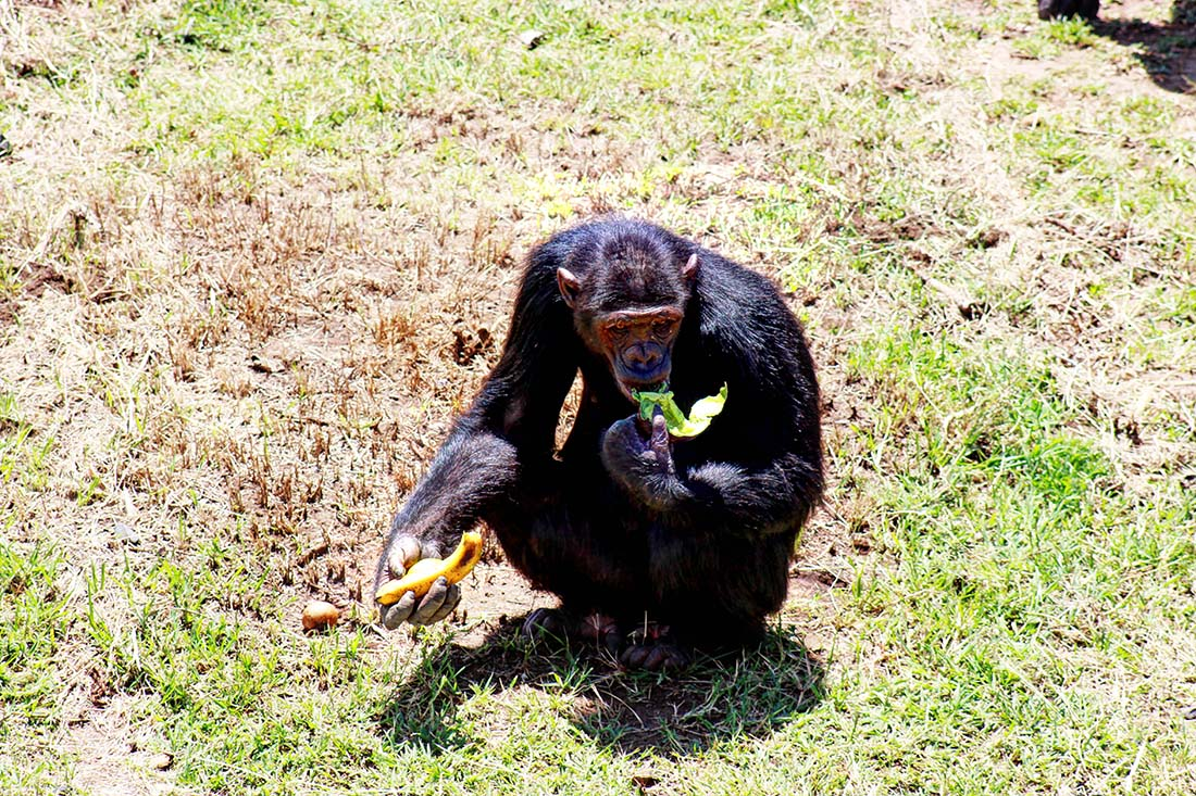 Sweetwaters Chimpanzee Sanctuary_feeding banana