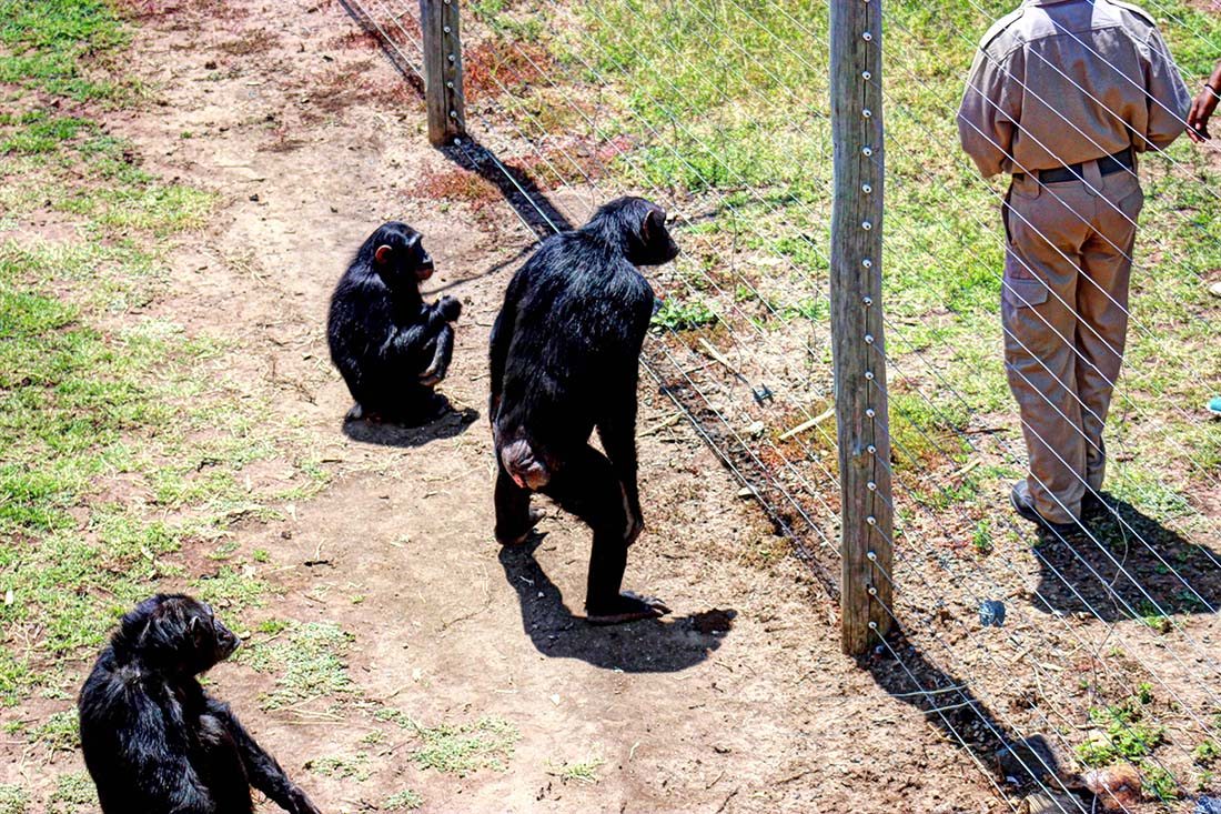 Sweetwaters Chimpanzee Sanctuary_feeding group 4