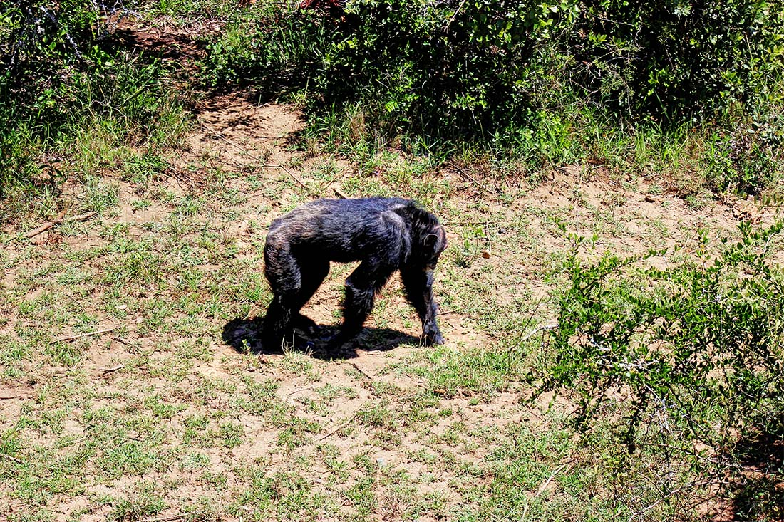 Sweetwaters Chimpanzee Sanctuary_strolling