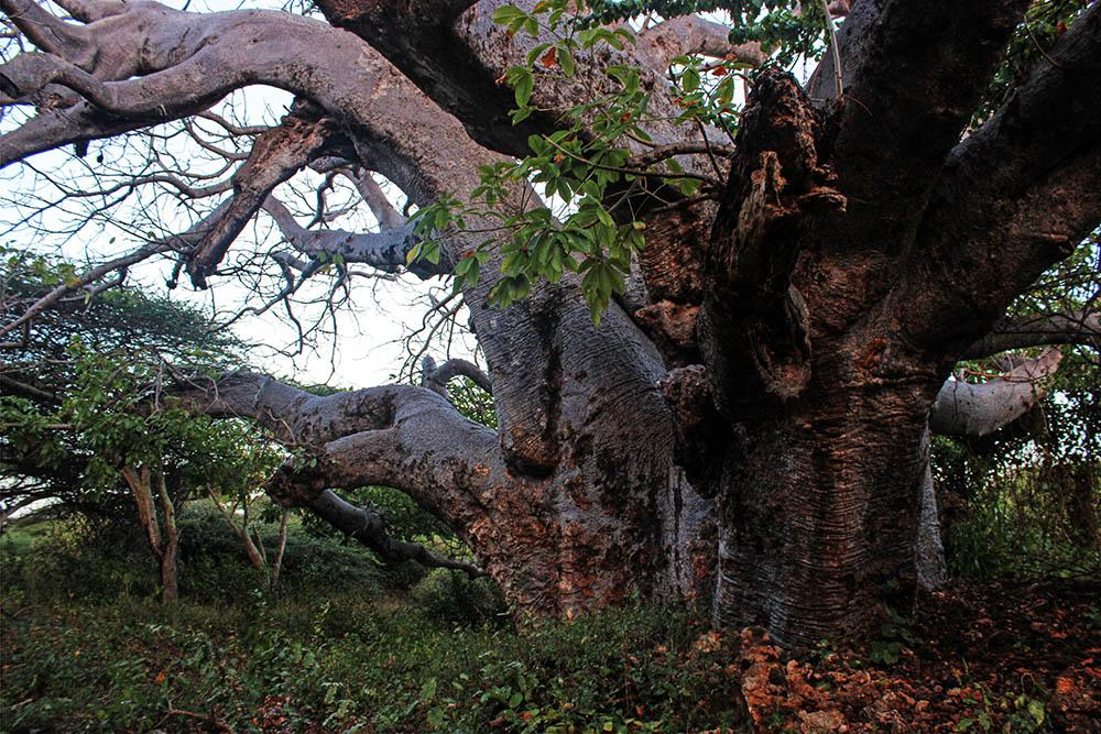 Takwa Ruins_Boabab