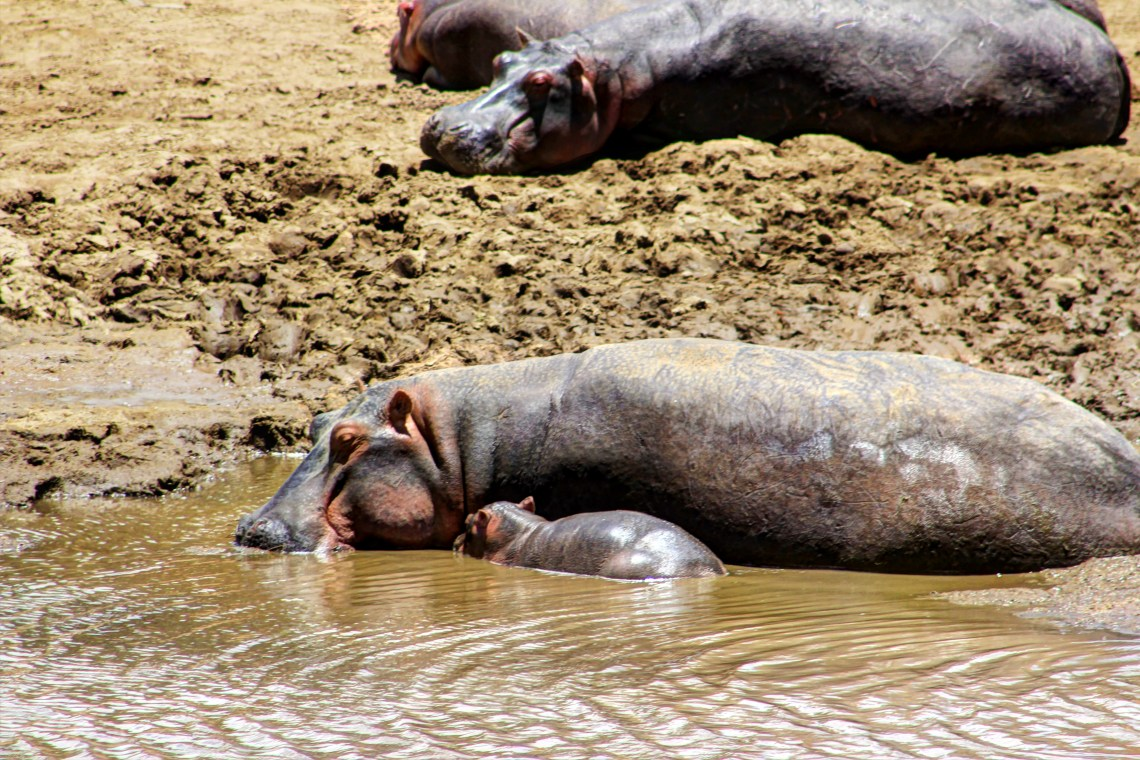 Maasai Mara_Hippo and calf4