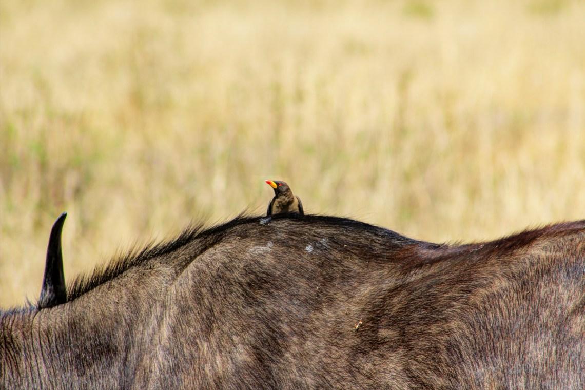 Maasai Mara_Ox Pecker