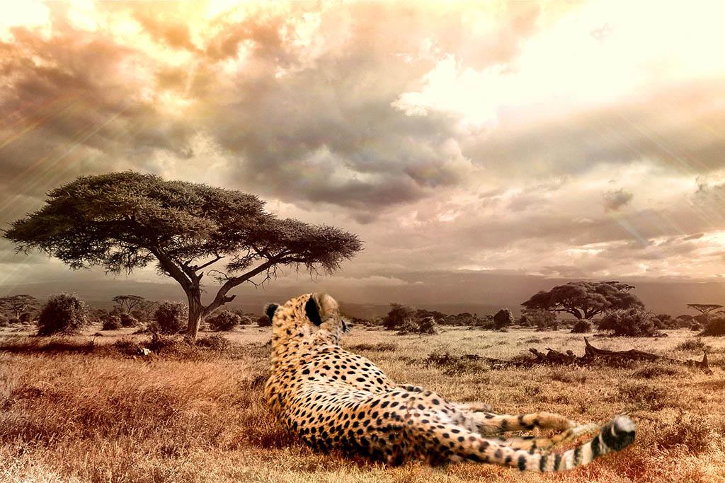 Cheetahs on the Edge
