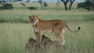 Safari Serengeti Ngorongoro