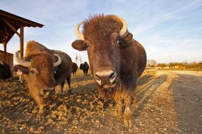 Bisonte americano - Safari Ravenna