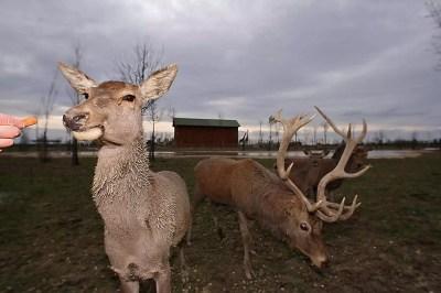 Cervo - Safari Ravenna