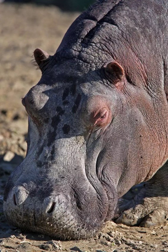 Ippopotamo - Safari Ravenna