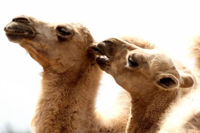 cammelli (14)