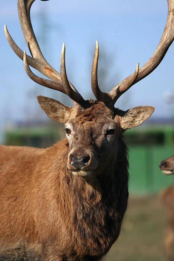 cervo (35)