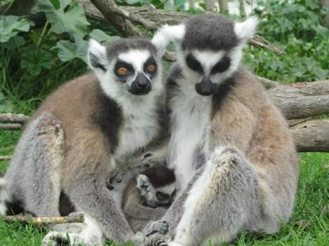 lemuri famiglia