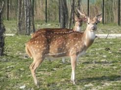 cervo pomellato