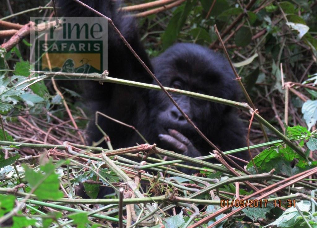 15 days Rwanda Uganda Gorilla Safari