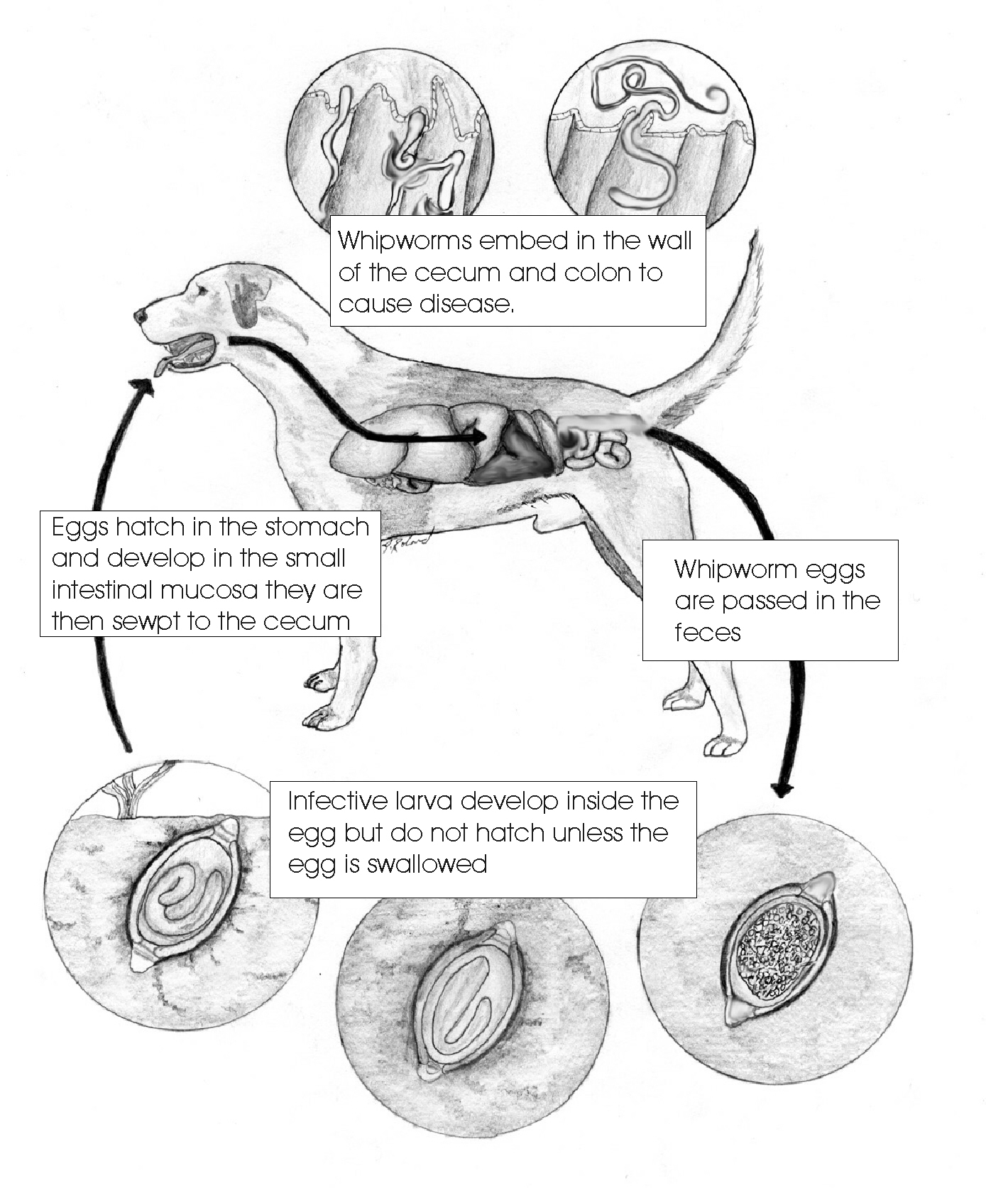 Whip Worm Life Cycle