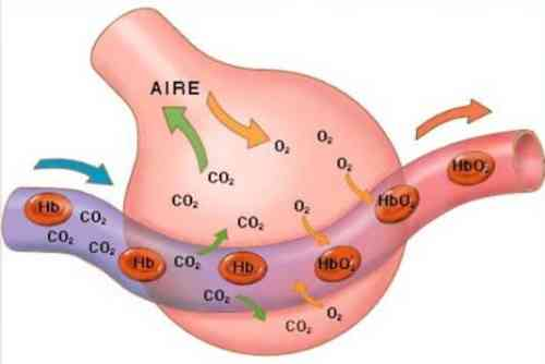 Respirazione polmonare