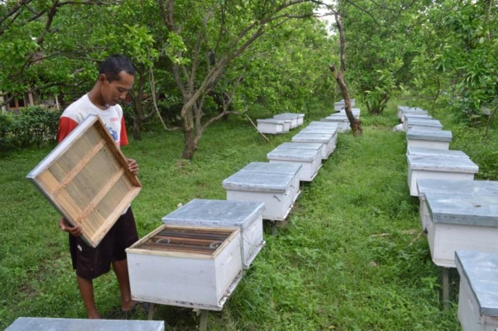 peternak lebah menggembalakan lebahnya di kebun jeru