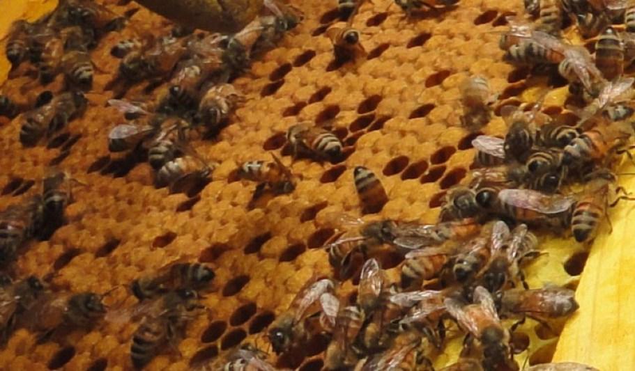 koloni kecil lebah