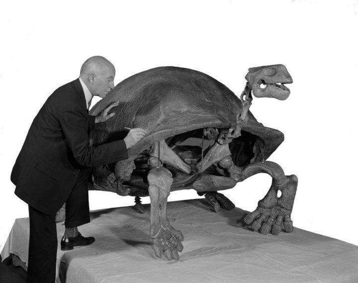 fosil Megalochelys Atlas
