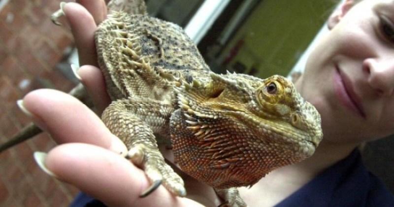 bearded dragon sebagai hewan peliharan