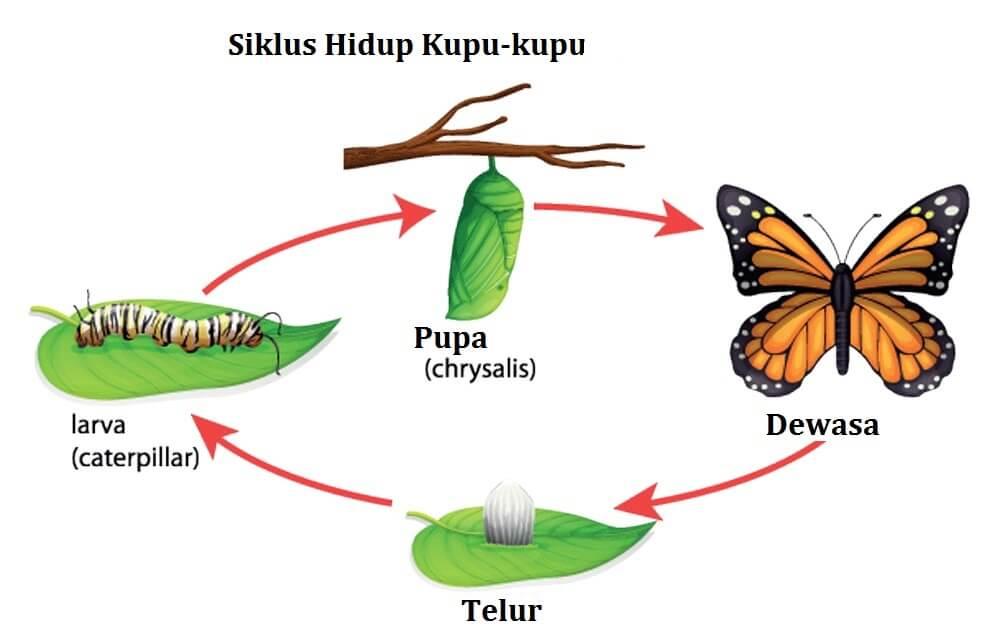 metamorfosis pada kupu kupu