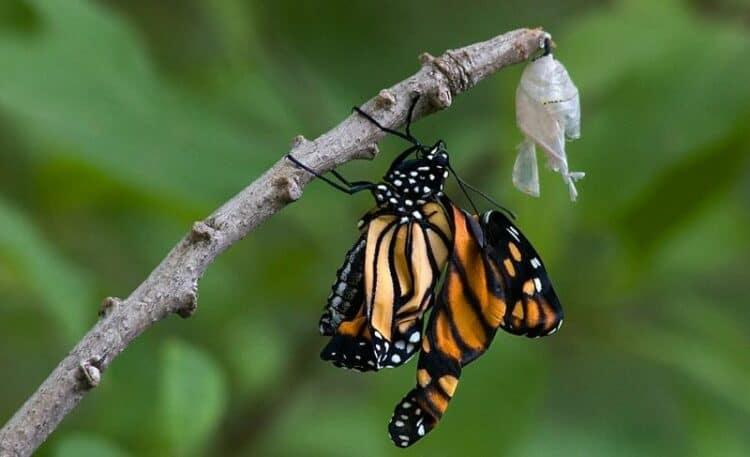 kupu kupu selesai metamorfosis