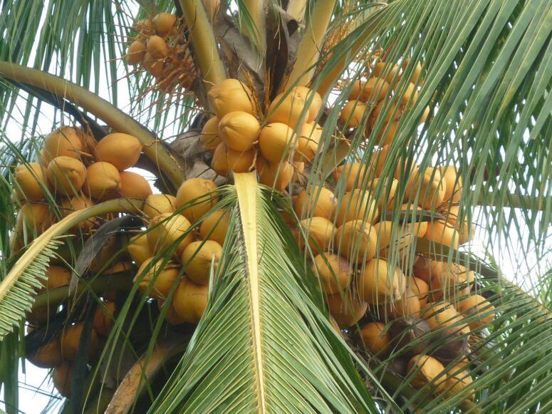 kelapa kuning aka kelapa gading