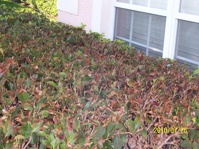 Dead shrubs front window