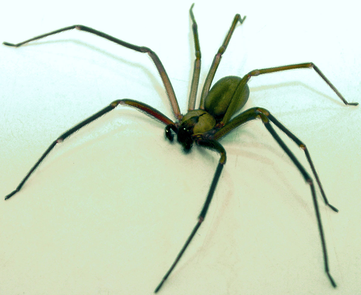 spider-bite