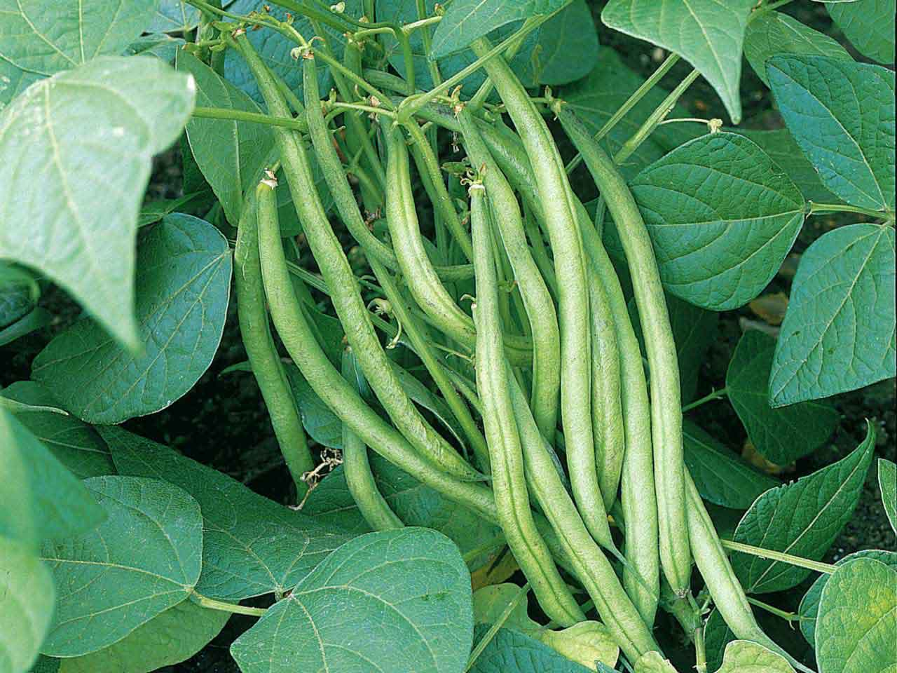 Image result for beans plant images
