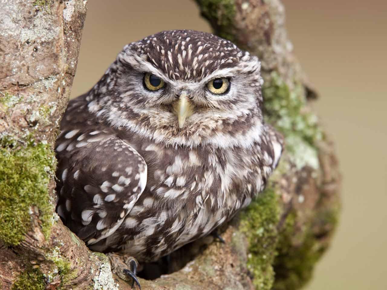 The Little Owl Behaviour Habitat Amp Origin