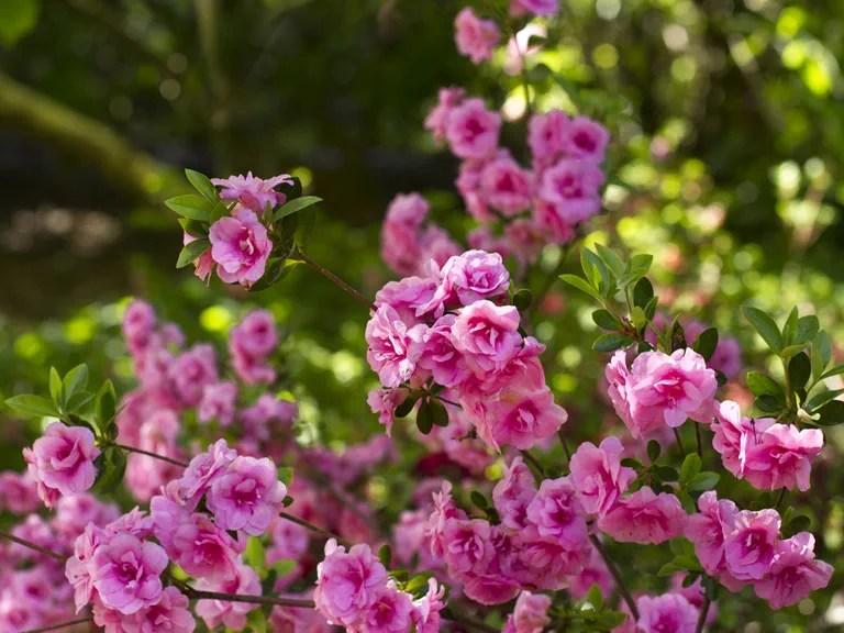 How To Grow Camellias Saga