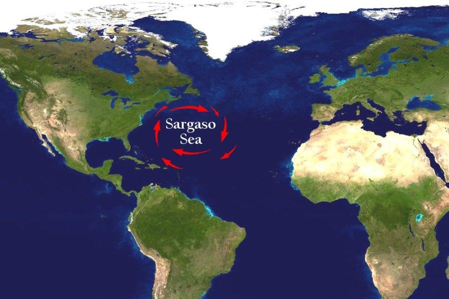 Mar dei Sargassi anguille