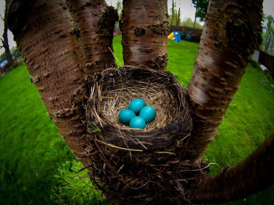 pettirosso nido