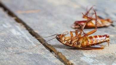 Photo of العلماء يكشفون سر صعوبة القضاء على «الصراصير»