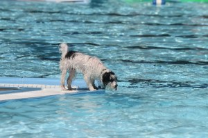 is pool water bad for dogs
