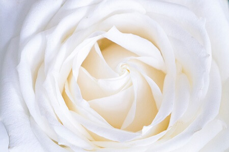 image in colour of White rose