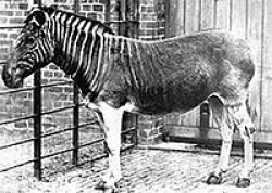 Image result for The last quagga dies at the Artis Magistra zoo in Amsterdam, Netherlands.