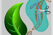 gene editing of plants
