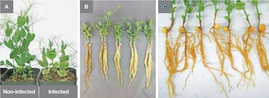 The effect of Aphanomyces root rot on a pulse crop. A: Stunting and yellowing of leaves. B and C: Caramel coloring of roots