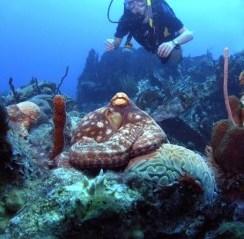 rhone-octopus-244x300.jpg