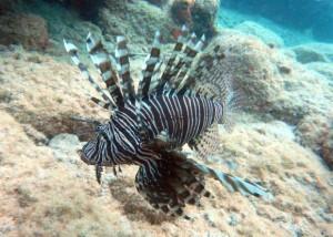 lionfish-300x214.jpg