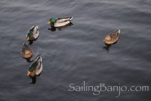 The Mallard Ducks are back