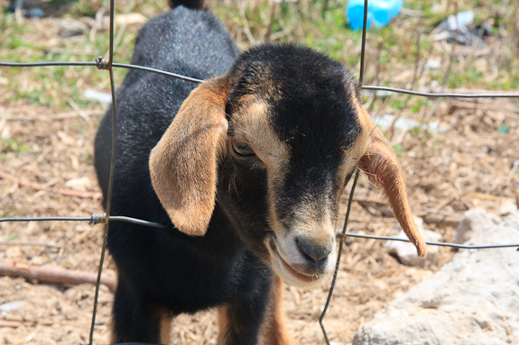 spanish_wells_baby_goat