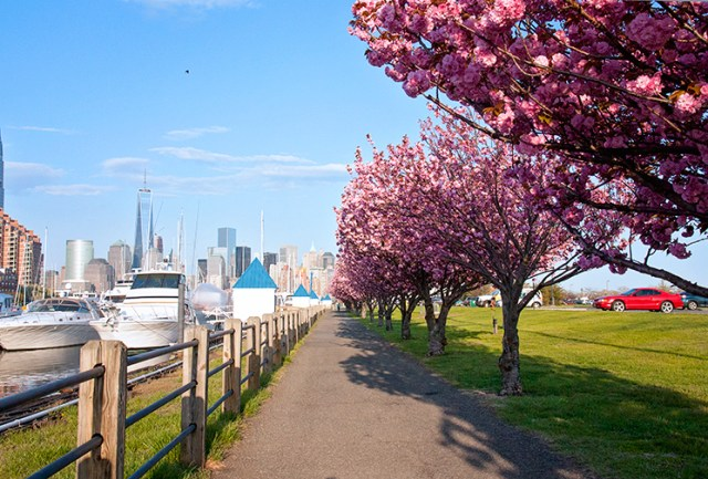 liberty_landing_cherry_blossoms