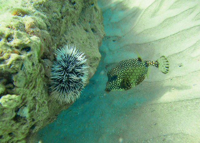 A puffer fish in Paynes Bay, Barbados
