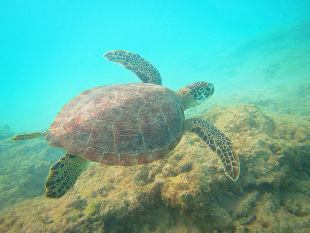Swimming with the turtles in Paynes Bay, Barbados