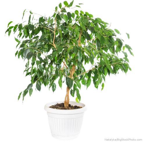 Ficus benjamina in flowerpot isolated on white background.