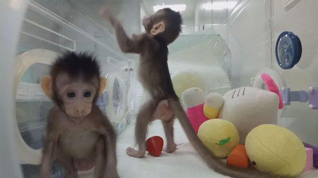 macaque-clones