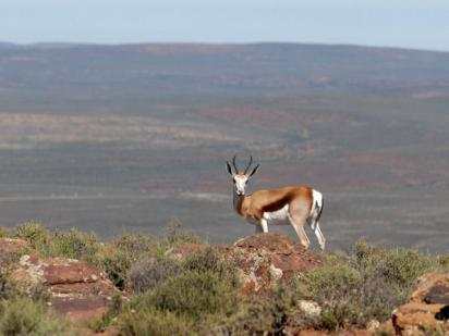 The Springbok, our national animal